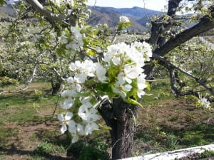 Pear blossoms on a pear tree in the Cashmere valley