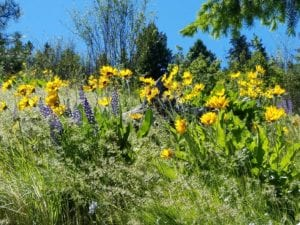 Yellow wildflowers growing on the hillside in the spring under blue skies.